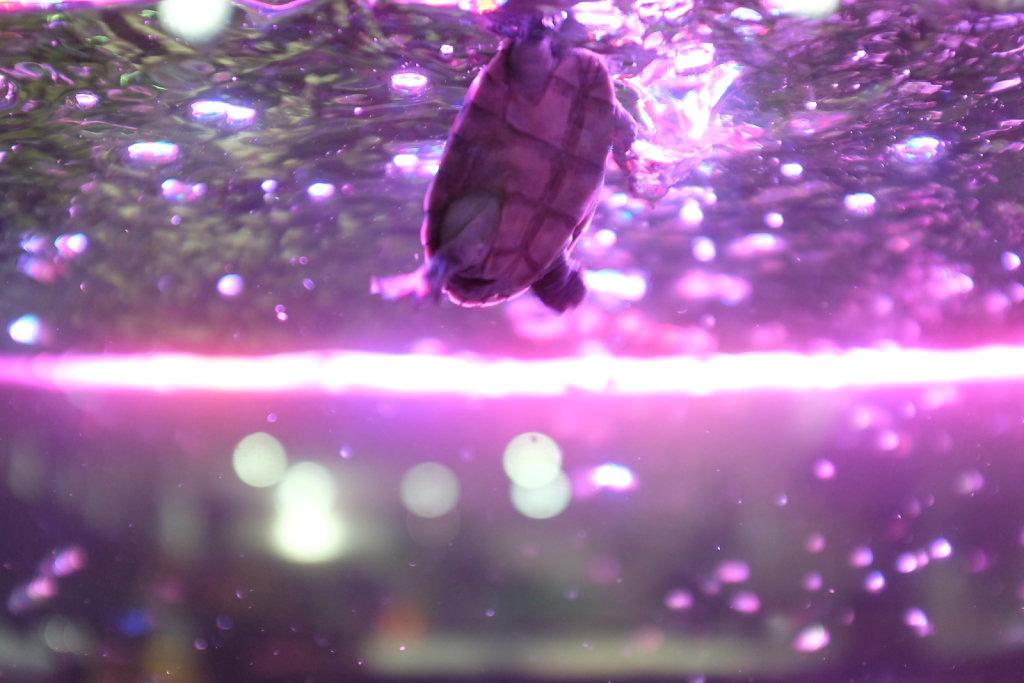 Turtle Dance (neon)